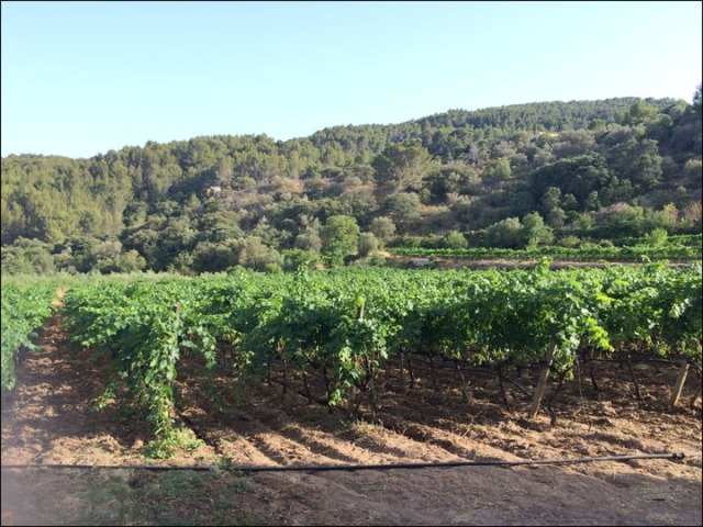 Bodega Es Verger Vineyard